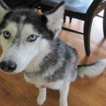 【動画あり】犬が喋った!ハッキリ「ポテトが欲しいですっ!!」と言うハスキー犬www