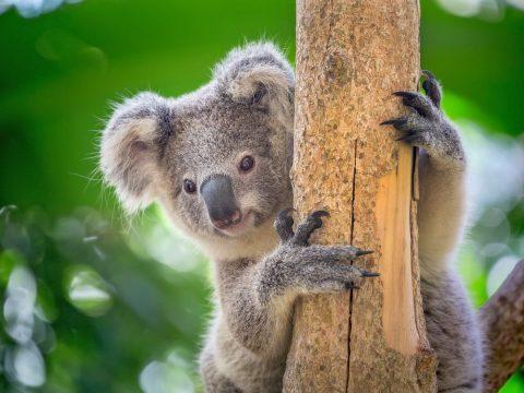 木にしがみつくコアラ