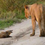 瀕死の子ぎつねを食べようとするオスライオンとそれを守るメスライオン…衝撃的な結果は…
