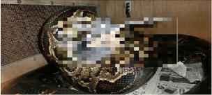 大蛇 鶏丸飲み