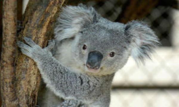 知らないと驚く、怖すぎるコアラの祖先とは・・・?