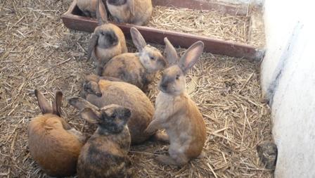 食用ウサギ