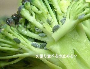 ブロッコリー虫