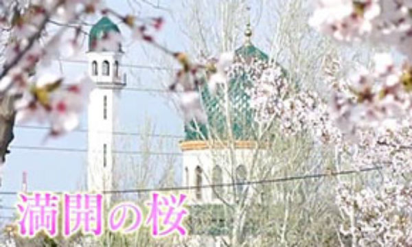 ウズベキスタン桜