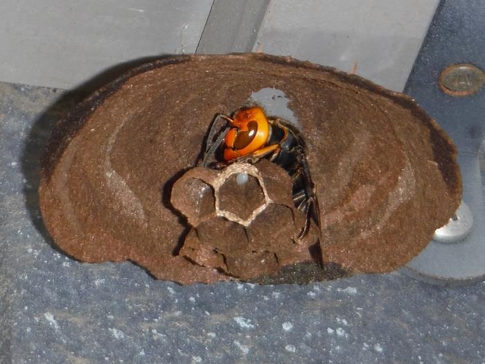 スズメバチの巣作りはでき始めが肝心!退治する絶好機とは!
