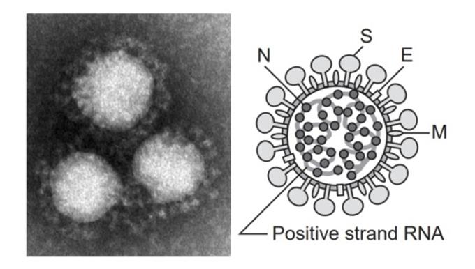 新型コロナウイルスワクチンに使用されるバイオテクノロジーで人生100年時代到来?